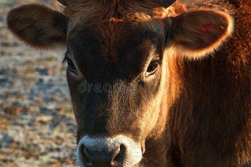 Cabe?a ascendente pr?xima da vista nova bonito do touro do gengibre Close up marrom novo da vitela Focinho de uma vitela nova Foc fotografia de stock royalty free