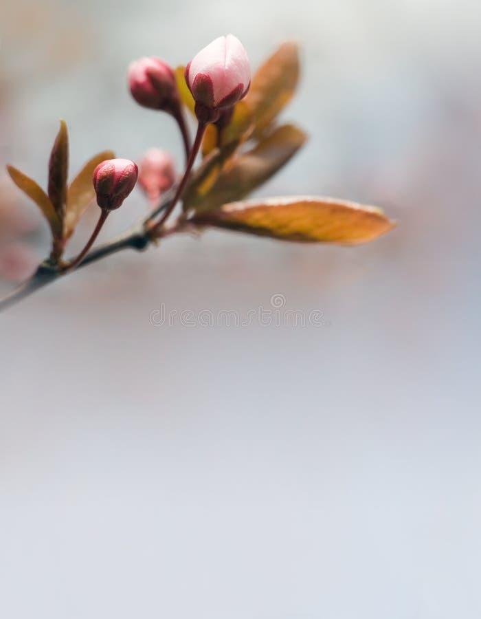 Cabecera del resorte con los brotes rosados. imágenes de archivo libres de regalías