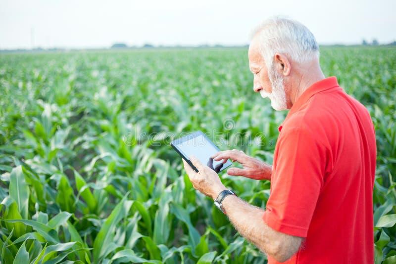 Cabelludo mayor, gris serio, agrónomo o granjero en la situación roja de la camisa en campo de maíz verde fotos de archivo libres de regalías