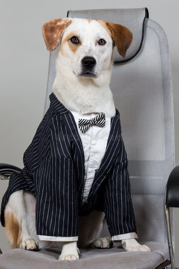Cabelo curto encantado marrom e cão branco que senta-se na série do casamento na cadeira grande isolada na luz - fundo cinzento foto de stock royalty free