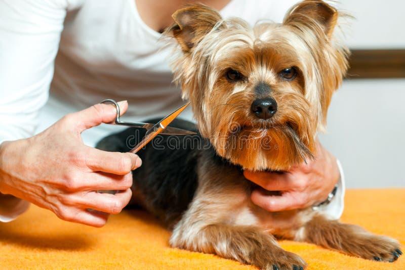 Cabelo de cães fêmea do aparamento da mão foto de stock