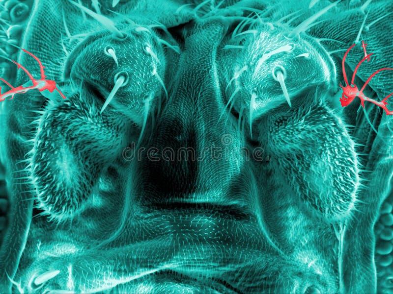 Cabelos e glândulas de uma mosca de fruto imagem de stock royalty free