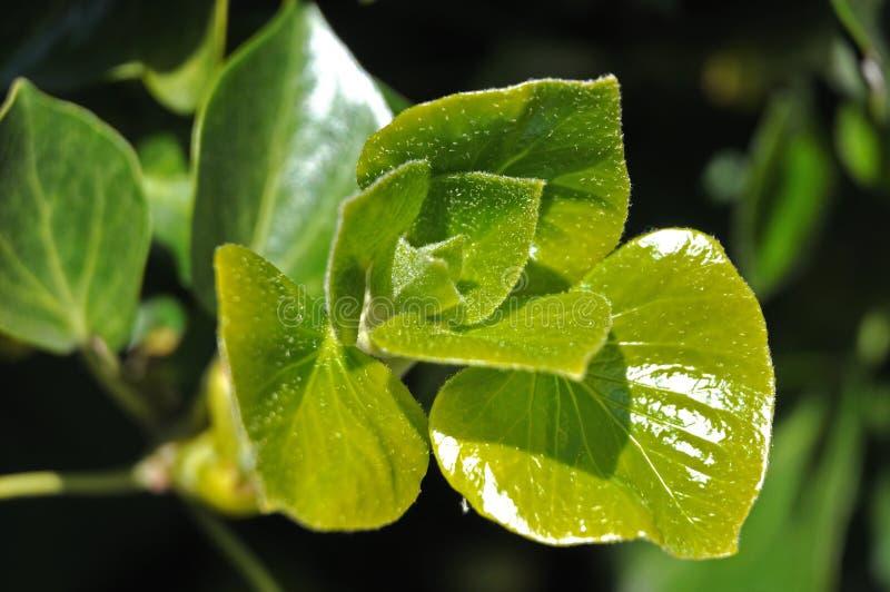 Cabelos finos nas folhas verdes frescas de uma hera imagens de stock