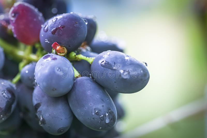 Cabernet black grape, red wine made from such grapes. Cabernet Sauvignon grapes. winegrowers grapes on vine. red wine. Harvest. Concept. Ingredients for stock photos