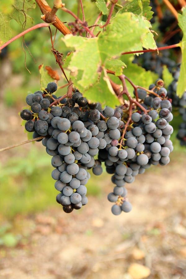 Cabernet Frank zwarte druiven royalty-vrije stock foto's