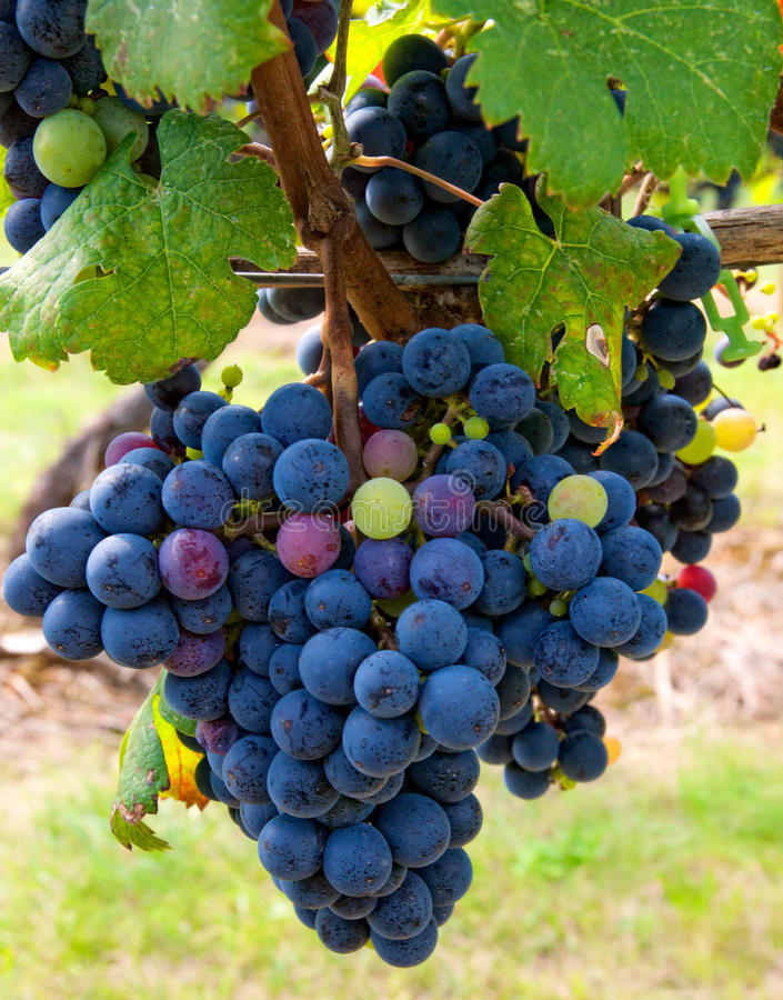 Free Cabernet Grapes Stock Photography - 10718292