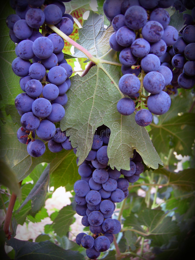 Cabernet Grapes. Bundle of cabernet grapes on the vine