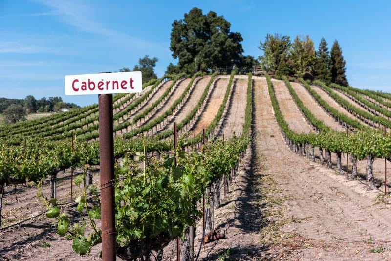 Cabernet na winogradzie obraz royalty free