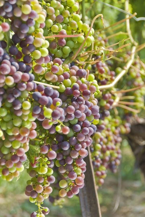 Cabernet - Sauvignon Druiven die op de Wijnstok hangen stock foto's
