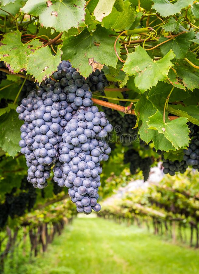 Free Cabernet Sauvignon Grapes Variety. Cabernet Sauvignon Is One Of The World`s Most Widely Recognized Red Wine Grape Varieties. Sout Stock Photos - 126808623