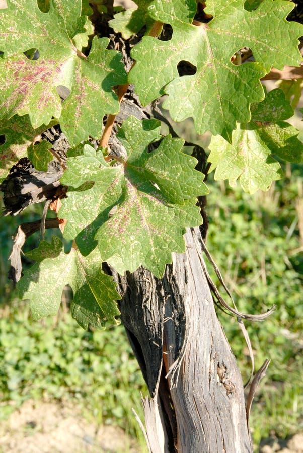 cabernet Sauvignon winorośl, - zdjęcie stock