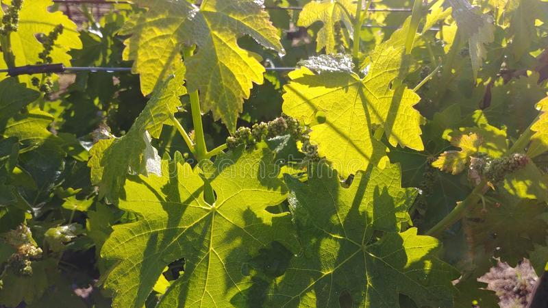 Cabernet Wine Grape Leaves With Sunlight Shining Through royalty free stock images