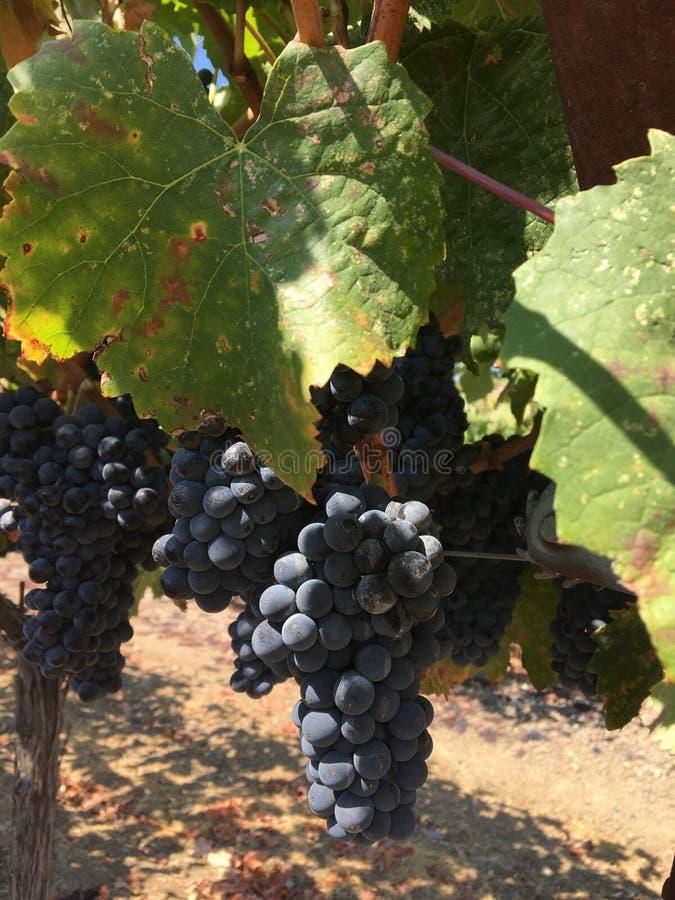 Cabernet winogrona obraz royalty free