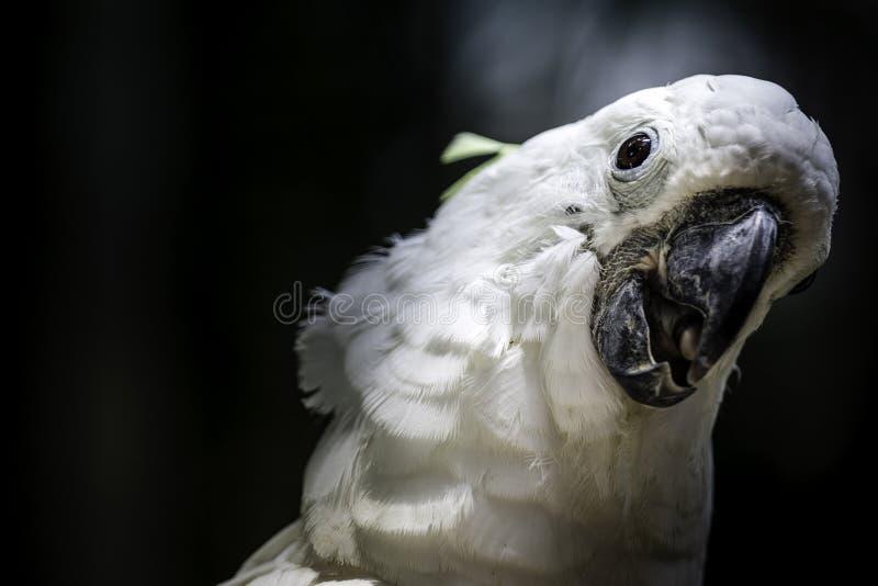 Cabeza blanca de la cacatúa del loro del pájaro foto de archivo libre de regalías