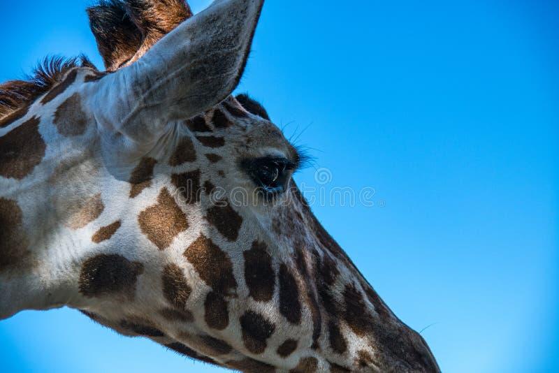 Cabeza correcta del perfil de la jirafa foto de archivo
