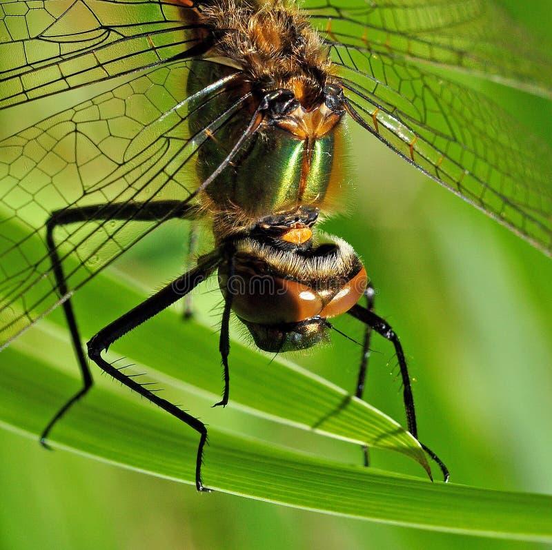 Cabeza de Anisoptera de la libélula imagen de archivo libre de regalías