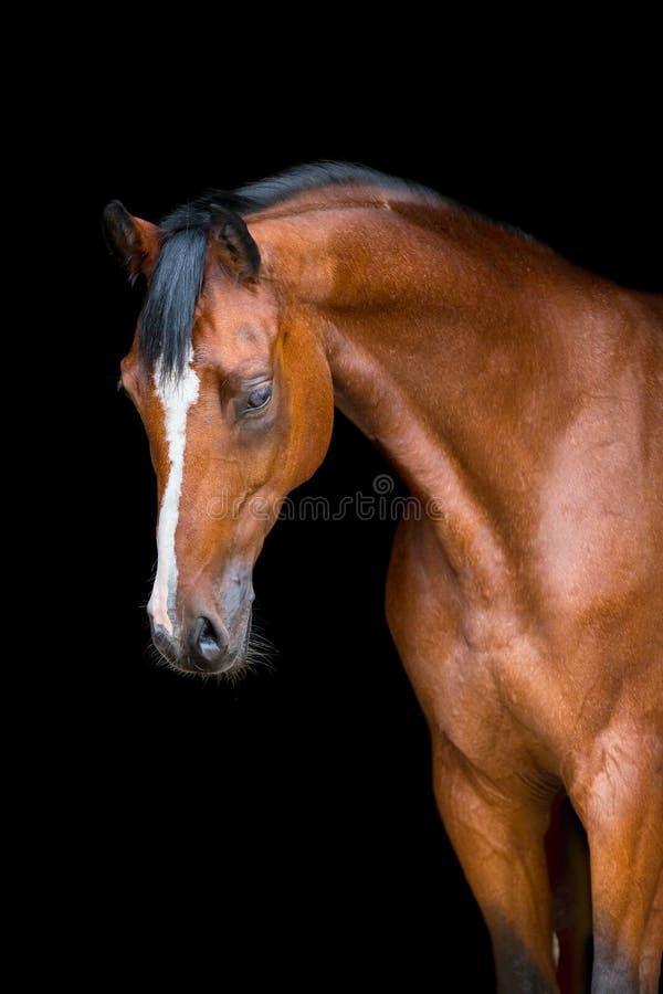 Cabeza de caballo aislada en negro, caballo de Holstein fotos de archivo