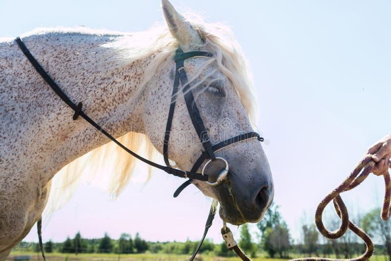 Cabeza de caballo blanco y cielo azul con el buckground del sol Cierre para arriba imagen de archivo libre de regalías