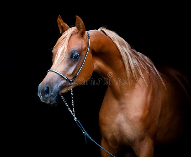 Cabeza de caballo de la castaña aislada en negro fotos de archivo