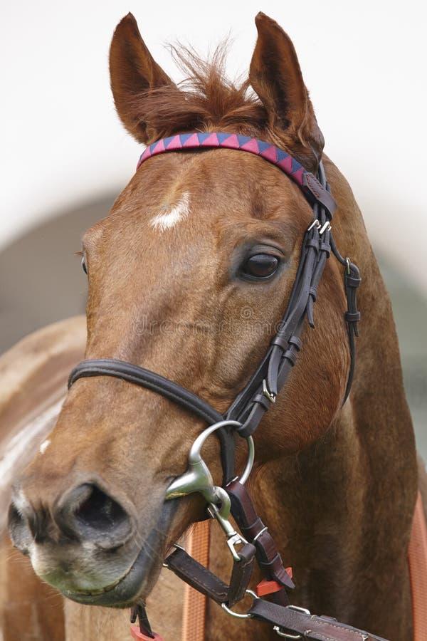 Cabeza de caballo de raza lista para correr Área del prado imagenes de archivo