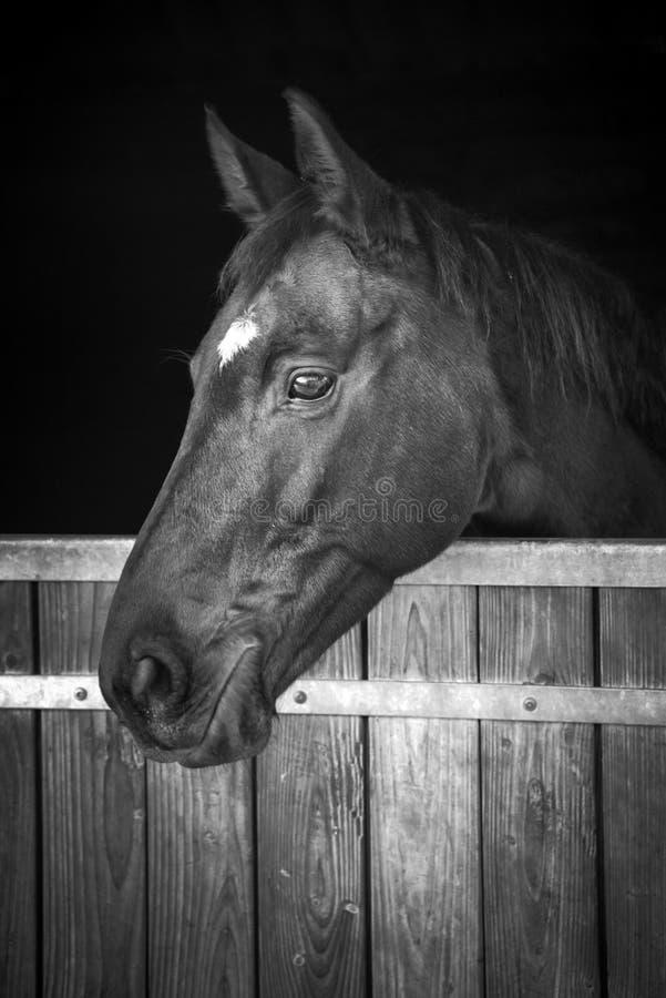 Cabeza de caballo que mira fuera de su estable, blanco y negro foto de archivo libre de regalías
