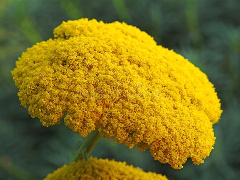 Cabeza de flor amarilla de la planta de la milenrama del verano fotos de archivo