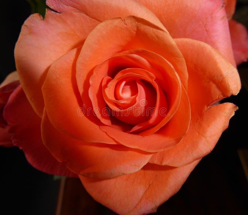 Cabeza de flor anaranjada hermosa en la plena floración con los pétalos perfectos imagen de archivo