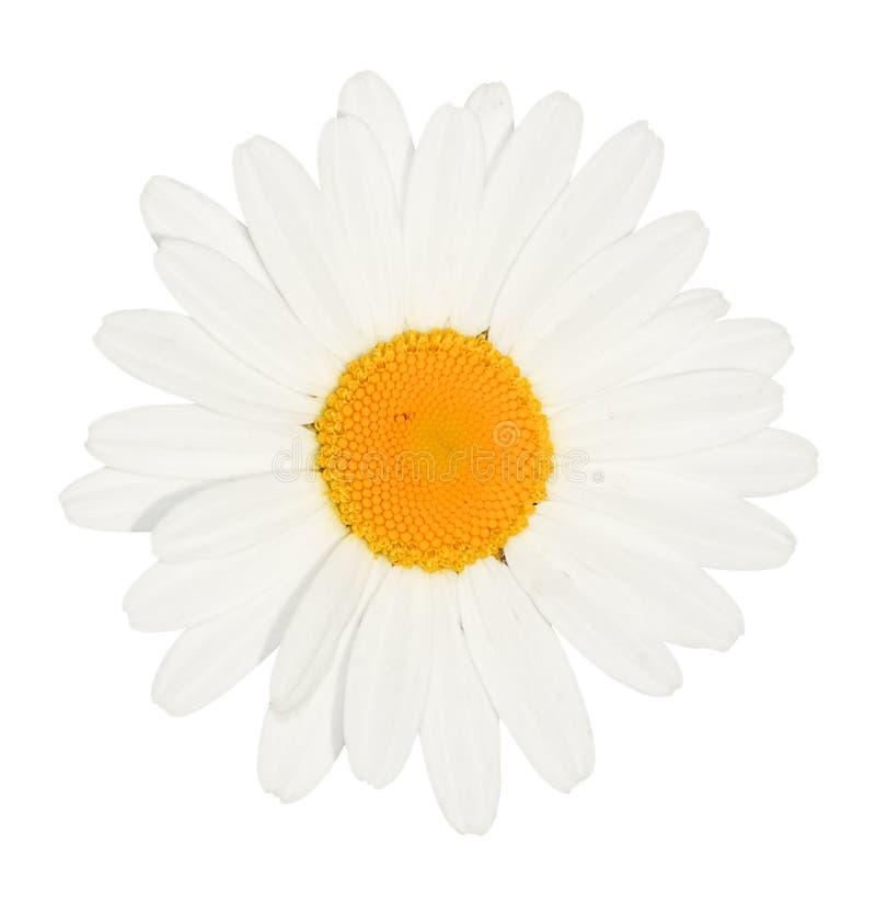 Cabeza de flor de la margarita aislada imágenes de archivo libres de regalías