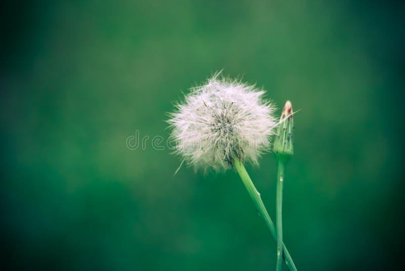 Cabeza de flor del diente de le?n que lanza sus semillas cerca encima de la foto macra con el fondo del bokeh desenfocado debido  imagen de archivo libre de regalías