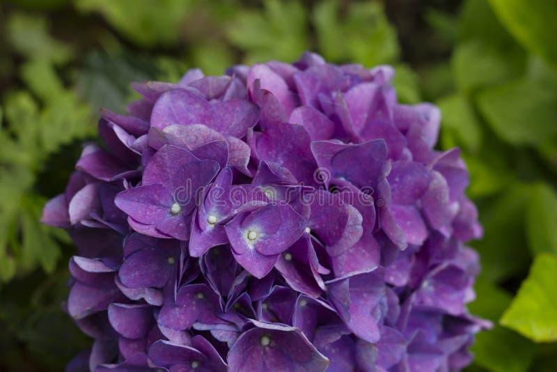 Cabeza de flor púrpura del hortensia fotos de archivo
