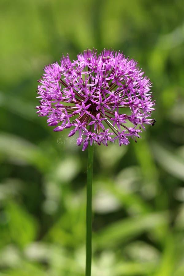 Cabeza de flor redonda del allium o de la cebolla ornamental integrada por docenas de crecimiento de flores purpúreo claro astero fotografía de archivo libre de regalías