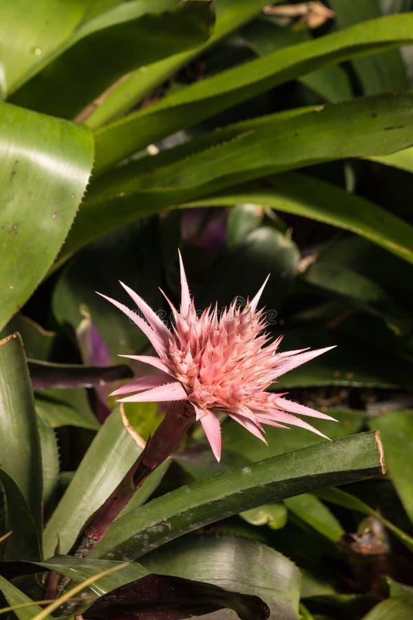 Cabeza de flor rosada de la bromelia foto de archivo