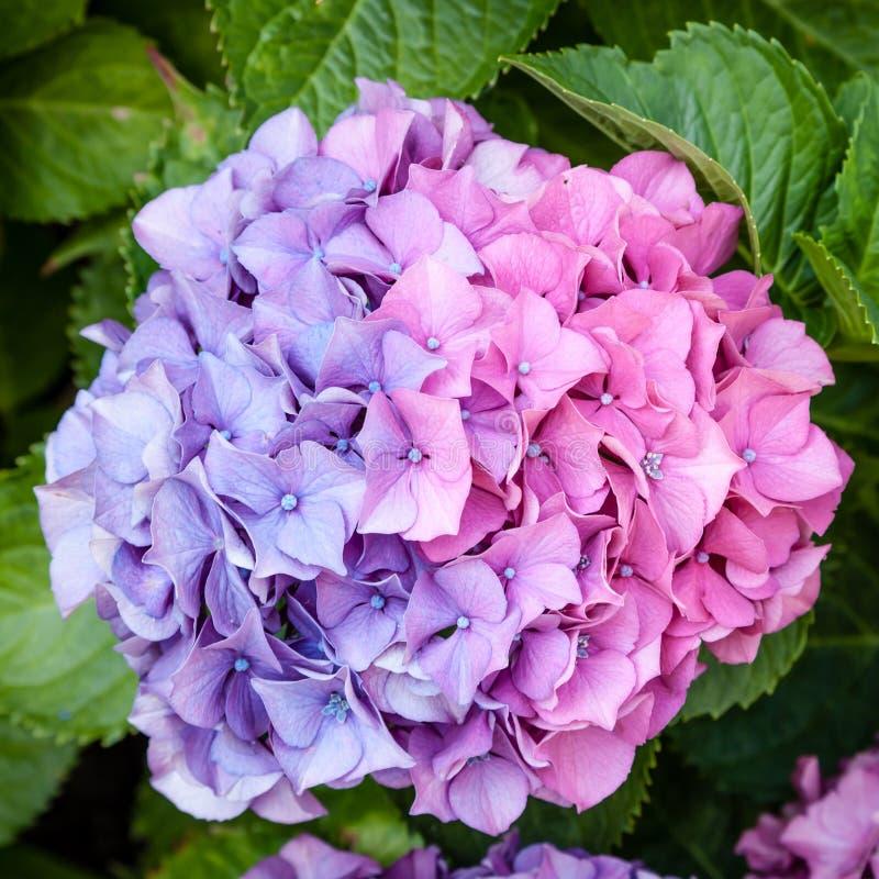Cabeza de flor rosada y púrpura bicolor hermosa de la hortensia del mophead fotos de archivo
