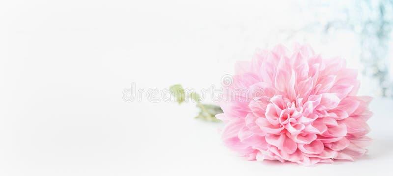 Cabeza de flores pálida rosada en el fondo blanco, bandera con la poder del espacio de la copia usada para saludar, naturaleza, j fotografía de archivo