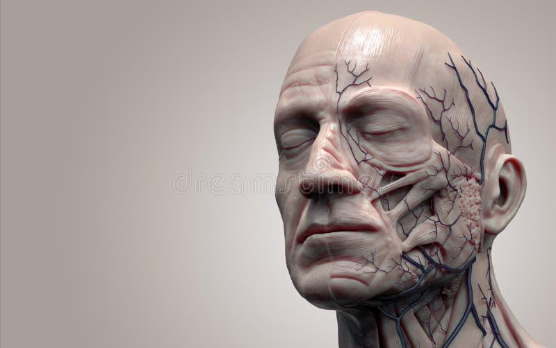 Cabeza De La Anatomía Del Cuerpo Humano Stock de ilustración ...