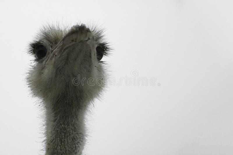 Cabeza de la avestruz en el fondo blanco fotos de archivo
