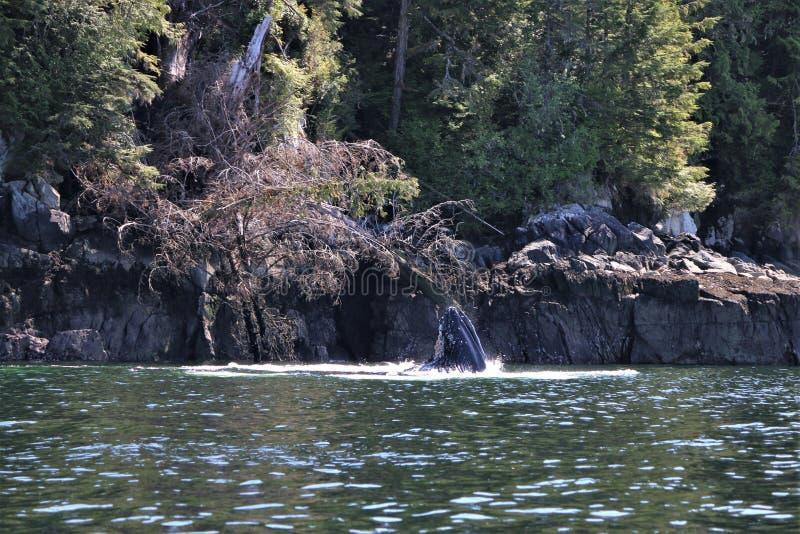 Cabeza de la ballena jorobada fuera del agua fotos de archivo libres de regalías