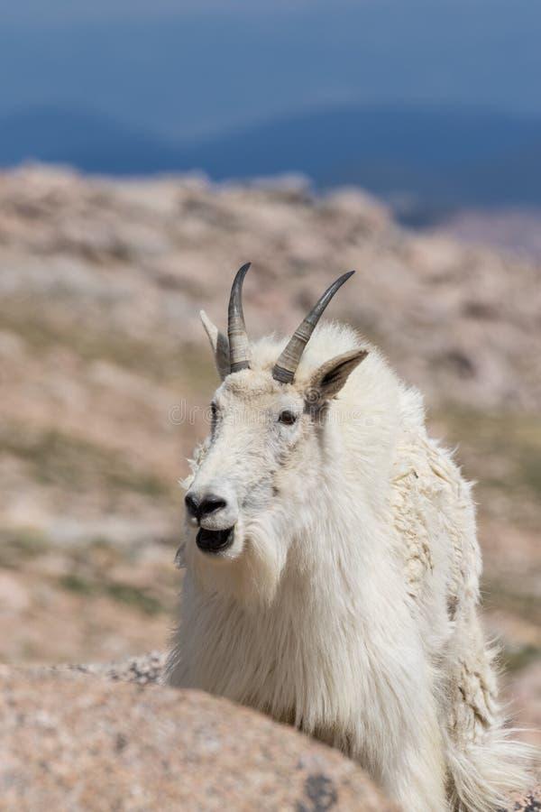 Cabeza de la cabra de montaña encendido foto de archivo libre de regalías