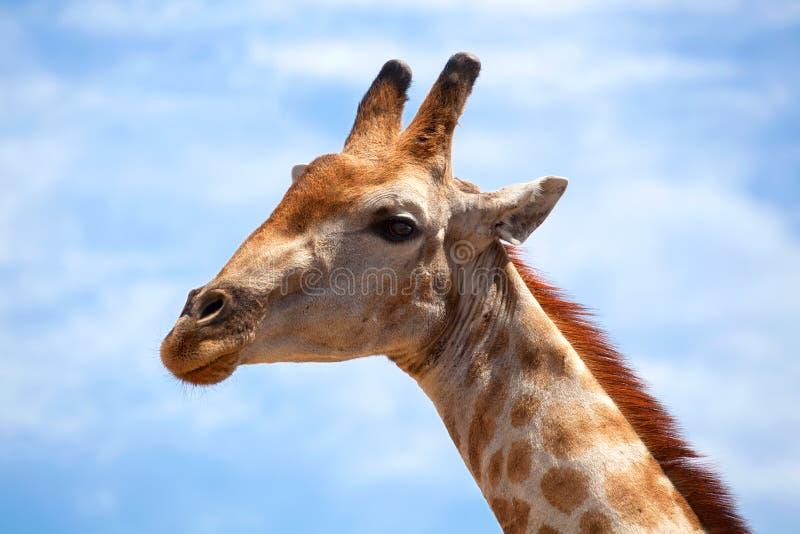 Cabeza de la jirafa en el cielo azul con el cierre blanco del fondo de las nubes para arriba en safari en el parque nacional de C fotografía de archivo