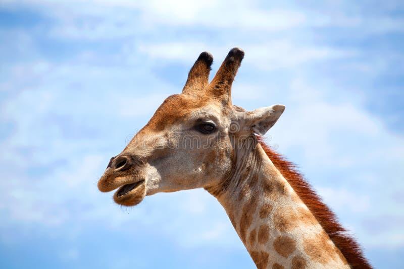 Cabeza de la jirafa en el cielo azul con el cierre blanco del fondo de las nubes para arriba en safari en el parque nacional de C imagenes de archivo