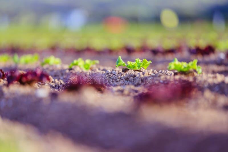 Cabeza de la lechuga fresca en un campo agrario, tiempo de primavera fotografía de archivo