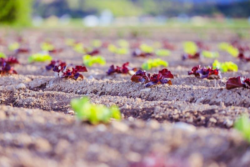 Cabeza de la lechuga fresca en un campo agrario, tiempo de primavera fotos de archivo
