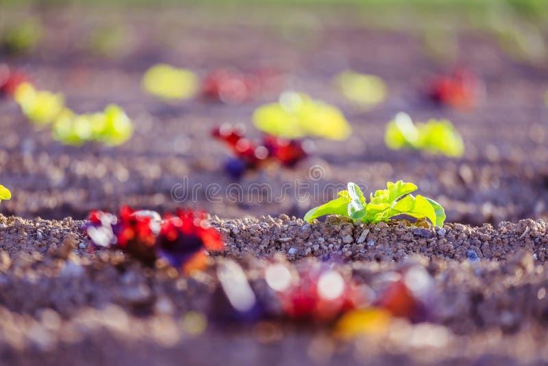 Cabeza de la lechuga fresca en un campo agrario, tiempo de primavera imágenes de archivo libres de regalías