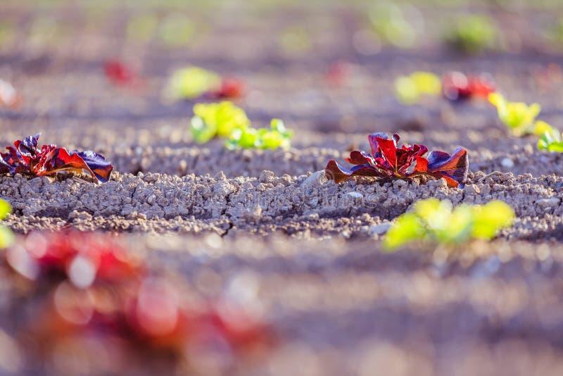 Cabeza de la lechuga fresca en un campo agrario, tiempo de primavera imagenes de archivo