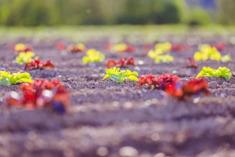 Cabeza de la lechuga fresca en un campo agrario, tiempo de primavera fotos de archivo libres de regalías