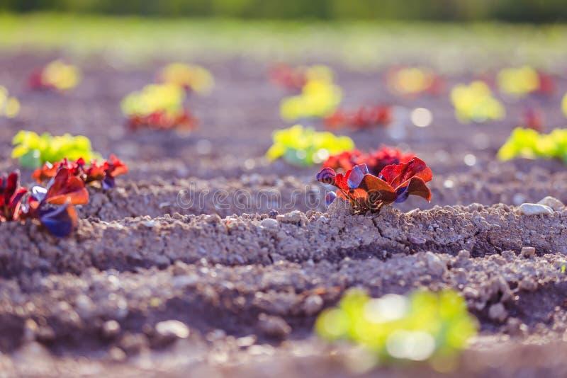 Cabeza de la lechuga fresca en un campo agrario, tiempo de primavera imagen de archivo