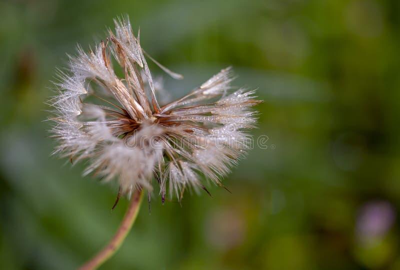 Cabeza de la semilla del diente de león con las porciones de descensos de rocío imagen de archivo