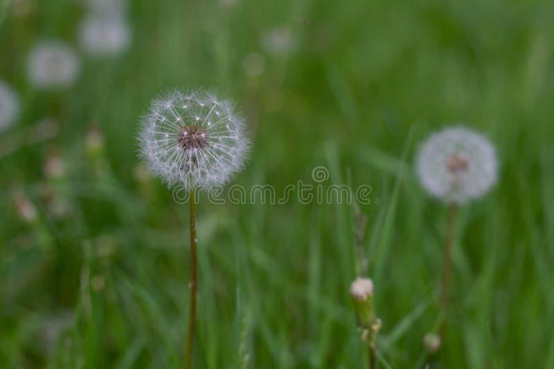 Cabeza de la semilla del diente de león en fondo de la hierba verde imagenes de archivo