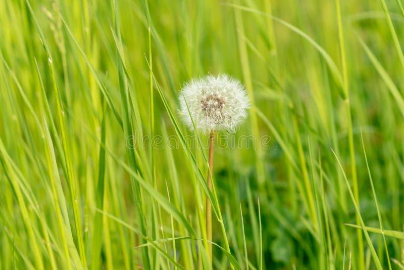 Cabeza de la semilla del diente de león en hierba verde fotos de archivo libres de regalías