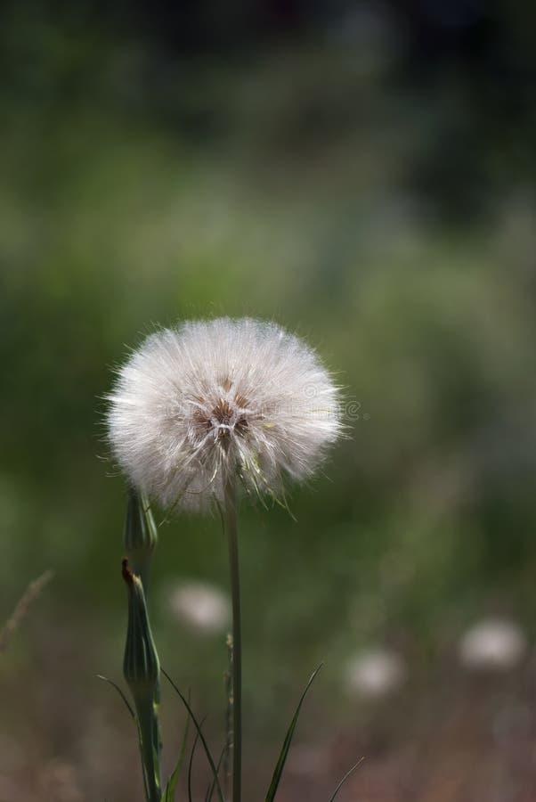 Cabeza de la semilla del salsifí fotografía de archivo